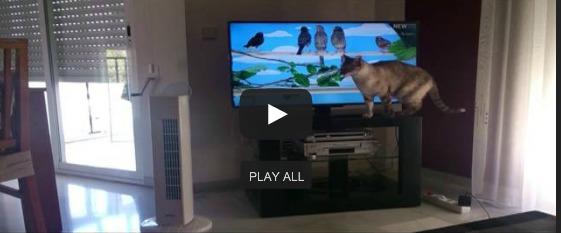 Gato viendo pájaros por la tele