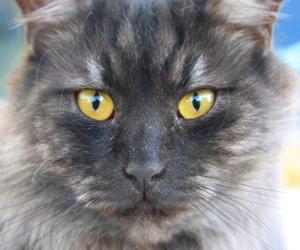 Imágenes de gatos grises