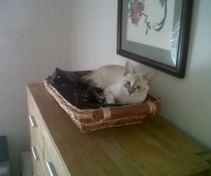 Gatos siameses