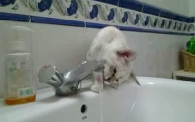 Gato bebiendo agua del grifo