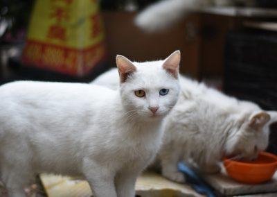 Dos gatos blancos comiendo