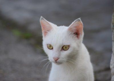 Gato blanco bonito