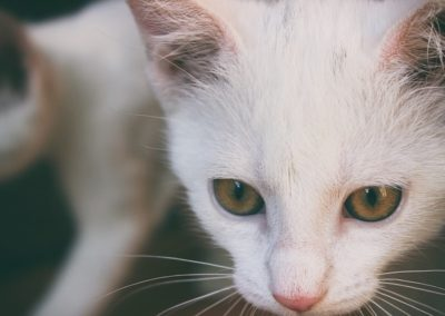 Cabeza de un gato blanco