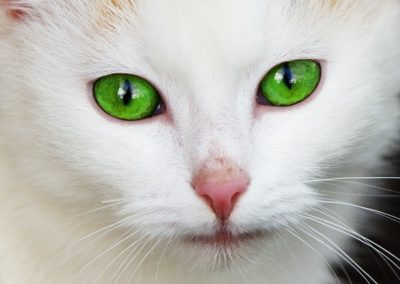 Gato blanco con ojos verdes