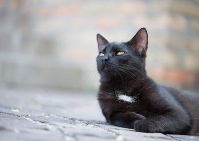 Gato negro doméstico