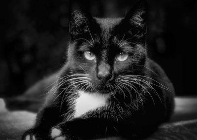 Gato negro con mancha blanca