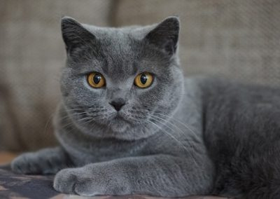 Gato gris de ojos naranja
