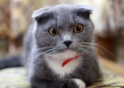 Gato gris sorprendido