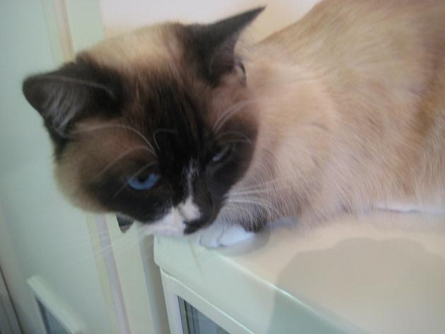 Imagenes de gatos enanos