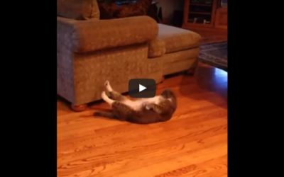 Gato haciendo abdominales