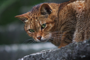 Información detallada sobre las razas de gatos