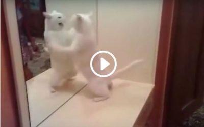 Gato peleando con el espejo